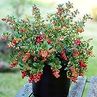 リンゴンベリー9cmポット苗(挿し木苗)/2個セット【果樹 二年生挿し木苗/即出荷】赤い実が美しく、寒さにとても強く簡単に放任栽培可能!品薄の常緑低木果樹!〈性質〉強い。自家結実性あり、1本で実を付けます。リンゴンベリーには驚く程の量のビタミンEが含まれ、またマンガンも豊富に含まれており良質な食物繊維を摂取できます。様々なポリフェノールも含まれています。北欧などの内陸の森林地帯に多く自生しているコケモモの仲間。常緑低木で樹高はあまり高くならず30cmくらいまでです。6月から7月にかけて枝の先端に釣り鐘状の白または薄ピンクのかわいい花をつけ、その後に赤い果実を実らせます。果実は酸味があり、果汁が多く含まれとてもジューシー!海外では肉料理の付け合わせやお菓子、ジュース、ジャムなどに利用されていますが国内ではまだあまり流通していません。低温に非常に強くマイナス20℃以下でも耐えると言われています。【自社農場から新鮮苗直送!!】【即出荷】