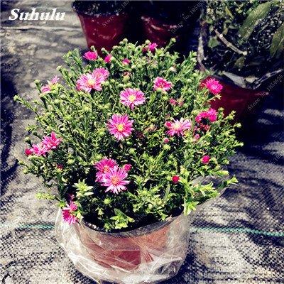 Grosses soldes! 50 Pcs Daisy Graines de fleurs crème glacée parfum de fleurs en pot Chrysanthemum jardin Décoration Bonsai Graines de fleurs 5