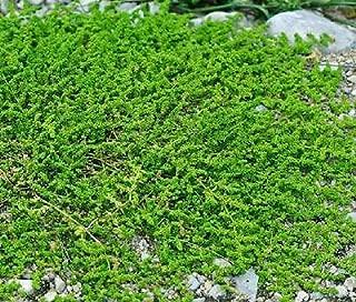 GREEN CARPET RUPTUREWORT Herniaria Glabra - 2,500 Bulk Seeds