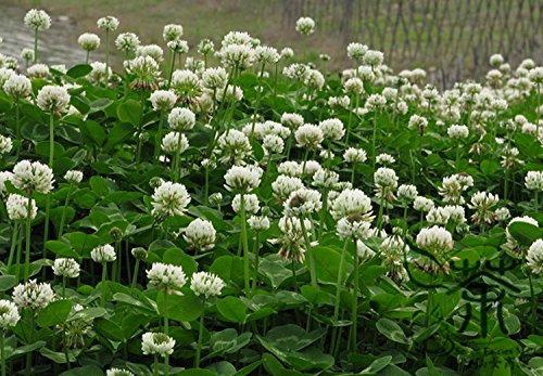 Plante vivace Trifolium repens Graines 2000pcs, Natural herbacée trèfle blanc Semences à gazon, Famille Fabaceae Néerlandais Clover Seeds
