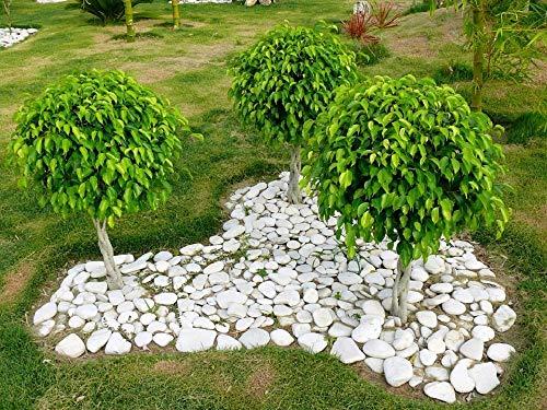 30 FICUS TREE (Bodhi Tree/Fig sacré/Bo Arbre/Pipal) Ficus Religiosa Graines par Seedville