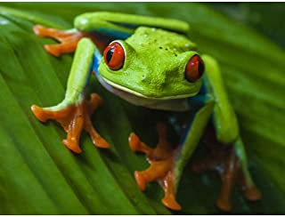 Best red eyed tree frog painting Reviews