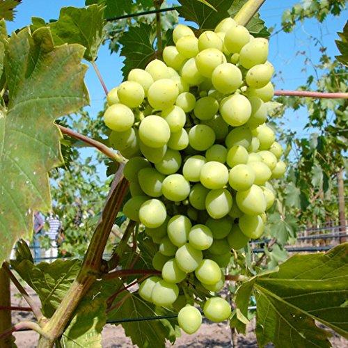 Grüner Garten Shop Romulus, weiße kernlose Traube, pilzfeste Wein Rebe, gestäbt 60-100 cm im 2 Liter Topf