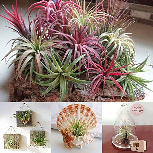 good01 100 Stücke Seltene Tillandsia Pflanzen Samen   Sortierte Lonantha-Luftpflanzen Für Garten-Schönheits-Dekoration