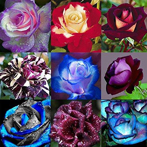 Ultrey Samenshop - 50 Stück Rosensamen Blumen Samen Regenbogen Rose Bunte Flower Seeds Lange Blütezeit winterhart