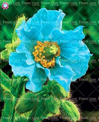 100PCS Rare bleu de l'Himalaya Graines de pavot Graines De belles fleurs vivaces nouveau style papillon attrayant pour jardin plante 7