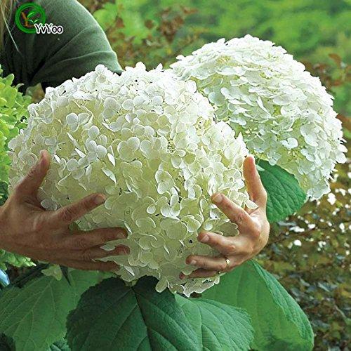 Grosses soldes!!! Hortensias Graines Mélangé Hydrangea Fleurs Accueil plantes Bonsai Viburnum 30pcs - Nouveaux Arcis