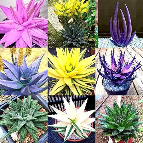 Portal Cool 200 Stücke Aloe Vera Bonsai Samen Bonsai Baum Farbe Duftenden Samen Immergrüne Pflanze
