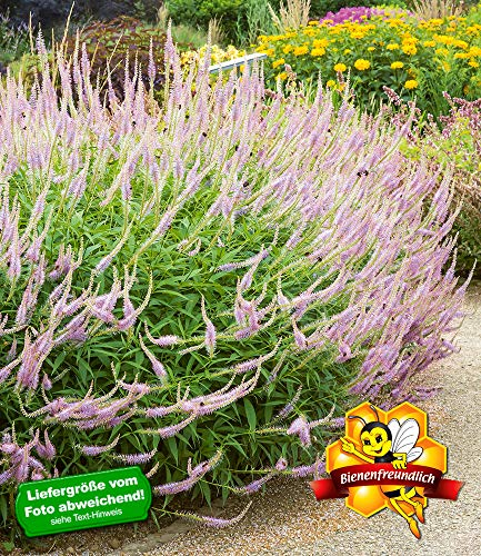 """BALDUR-Garten Veronicastrum\""""Lavendelturm\"""",2 Knollen"""