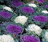 Zierkohl, Zierkohlsamen - Brassica oleracea - 200 samen
