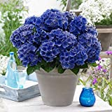Hydrangea macrophylla | Music Collection®'Blue...