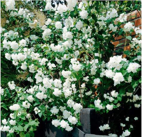 Tomasa Samenhaus- 50pcs Garten Blüh-Hecken-Kollektion,winterhart Mehrjährige Jasmin-Samen Mirabilis Jalapa Blumensamen
