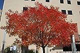 Pistacho chino, (pistacho) Pistacia chinensis, Árbol 10 Semillas (colores de la caída)