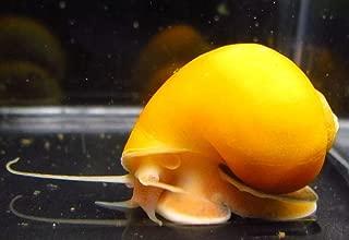 Golden Mystery Snail - 1/2