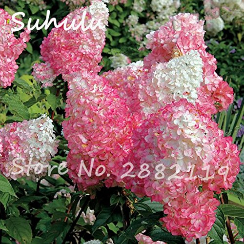 50Seeds/bag Vanilla Strawberry Beautiful Flower Seeds para plantar en maceta o semillas de flores molidas como bonsái o árbol 2