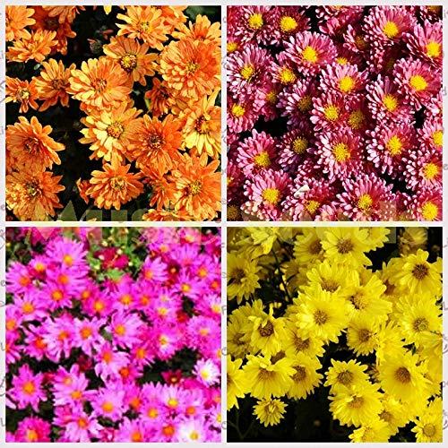 1 bolsa = 30 piezas de semillas de crisantemo de cubierta de suelo raras hermosas semillas de flores japonesas de arco iris bonsai en maceta diy mini planta al aire libre