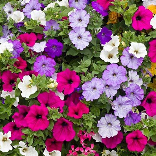 100/Paquet Rare Graines Petunia Grissinis Jardin Pétunia arbre biologique Très Belle Graines de fleurs bonsaïs Illuminez votre maison blanche