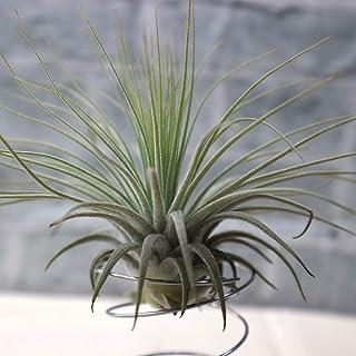 エアープランツ チランジア マグヌシアーナ Lサイズ【幅約13cm×高さ約10cm Lサイズ/1個】T.magnusiana 品種で選べるエアプランツ!初心者にも育てやすく、リビングやオフィスのインテリアに!【造花ではありません。生きているエア...