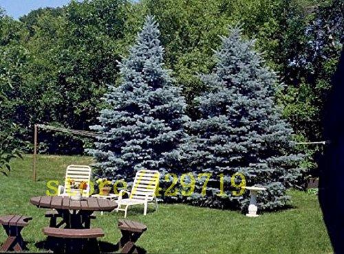 30 PC semillas del árbol de abeto azul bonsai Picea árbol en maceta de Bonsai Bonsai Patio Jardín pino planta para el jardín de DIY