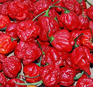 Trinidad Scorpion Butch T Pepper Seeds - 5+ Rare Seeds + FREE Bonus 6 Variety Seed Pack - a $29.95 Value! Packed in FROZEN SEED CAPSULES for Growing Seeds Now or Saving Seeds For Years