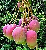 deliciosas frutas exóticas semillas de mango 3 PC semillas raras mini pote casa y el jardín bonsai