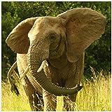 Bild mit Rahmen Hady Khandani - ELEPHANT - SQUARE PORTRAIT 1 - Digitaldruck - Alimunium silber glänzend, 30 x 30cm - Premiumqualität - HADYPHOTO, Fotografie, Photografie, Natur, Tiere, Afrika, Elefant, Gras - MADE IN GERMANY - ART-GALERIE-SHOPde