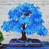 TOYHEART 100 Piezas De Semillas De Flores De Primera Calidad, Semillas De árboles De Arce Atractivas Hermosas Y Encantadoras Semillas De árboles De Arce Azul Bonsai Para El Hogar Azul