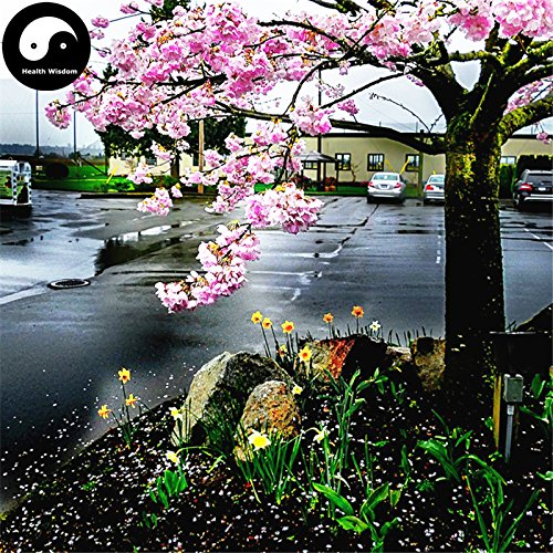 Acheter Plante Serrulata de graines Sakura TREE fleurs de cerisier