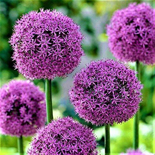 """10x Blumenzwiebeln RIESEN ZIERLAUCH Allium \"""" Fireworks \"""" mit beeindruckender Blüte"""