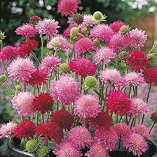 Kings Seeds - knautia Melton Pastels - 40 Seeds