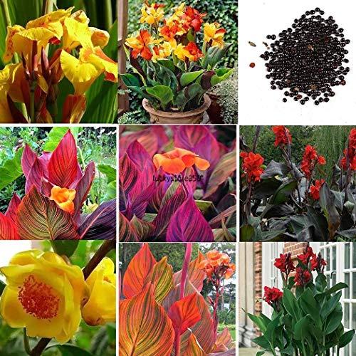 Portal Cool Rouge Noir: 50 Pcs Canna Graines Mélanger Couleurs Bonsaï Fleur En Pot Graines Décor De Jardin Lkr8 01