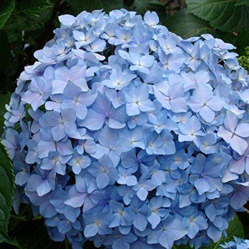 Keptei Samenhaus- 20 Korn Hortensien Annabelle Samen bunte Blumensamen Zierzwiebeln, Bauernhortensie Hydrangea winterhart mehrjährig