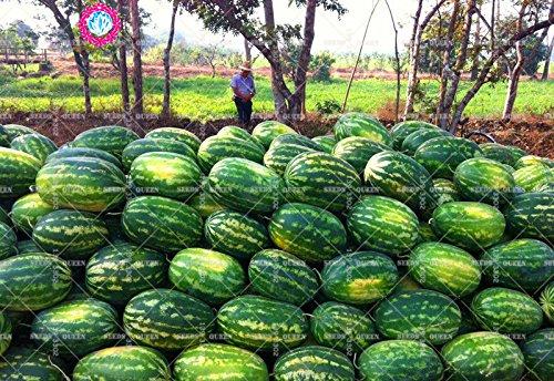 11.11 grande promotion! 30 pcs/lot de semences d'arbres fruitiers de jus de graines de melon d'eau géant vert jardin et la maison aweet plante vivace d'herbes biologiques