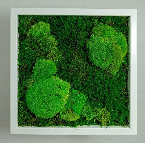 Moosbild Pflanzenbild mit Falchmoos und Kugelmoos versch. Maße günstig (Weiß, 35x35 cm)