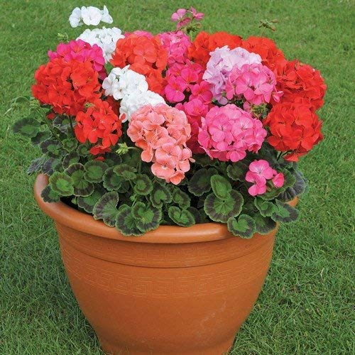 100pcs Geranium Seeds Potted Balcony Planting Seasons Pelargonium Potted Sprouting 9100% Mixed Color Flower Seeds +Free Rose Gift