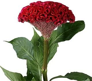 Best red velvet celosia flower Reviews