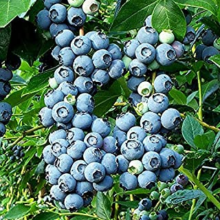 BLUEBERRY PLANT - Patriot - Organic - ORDER NOW for FALL PLANTING !!!