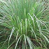 PlenTree Limoncillo 150 semillas de hierba de limón Cymbopogon flexuosus repelente de mosquitos en Usa