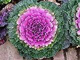 Bloom Green Co. Floración Col ornamental Planta Bonsai Floración Kale En Bonsai O Maceta Jardín Decoración Flor Bonsai 100 Pcs/Bolsa: 4