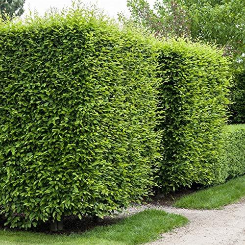 Buchen Heckenpflanzen Carpinus betulus wurzelnackt (20, 80-100cm)