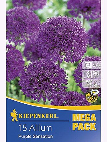 Mega- Pack Allium Purple Sensation aflatunense Iranlauch Zierlauch rosaviolett