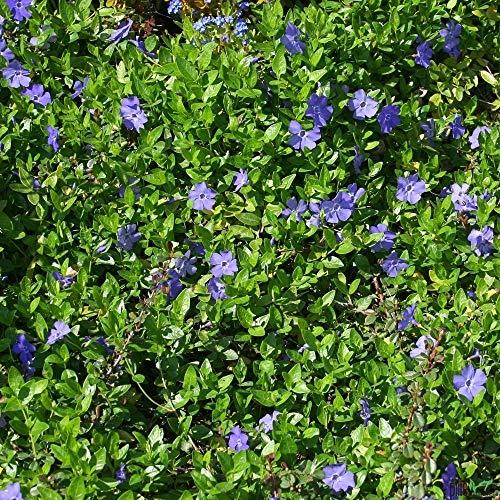 Vinca minor immergrüner Bodendecker winterhart 5-7 Triebe pro Topf violett blau (20 Stück)