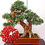 Bloom Green Co. Grano gigante Bonsai de jardín Planta Deliciosa Dulce de frutas Suculentas Ãrbol perenne 100Partículas/Bolsa para maceteros: 20 uds