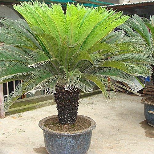 Graines Cycas plante en pot Seed Flower pour Articles de bricolage jardin ménage Seulement 1 PCS Cycas Seeds / sac