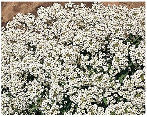 Lot de 100 graines de Corbeille d Argent Alysse odorant - Crystallina - annuelle