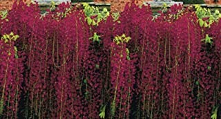 5 Fresh Seeds Black Dragon Wisteria Vine Climbing Perennial Flower - TSR411