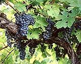 Amur uva, Vitis amurensis, Parra 10 Semillas