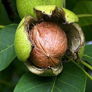 胡桃(クルミ)の苗木 品種:菓子クルミ【品種で選べる果樹苗木 2年生 実生苗 15cmポット 平均樹高:40cm/1個】(ポット植えなのでほぼ年中植付け可能)クルミの中でも殻が柔らかく、可食部分も大きい品種です! 殻が薄くて手で割れるので、手打...