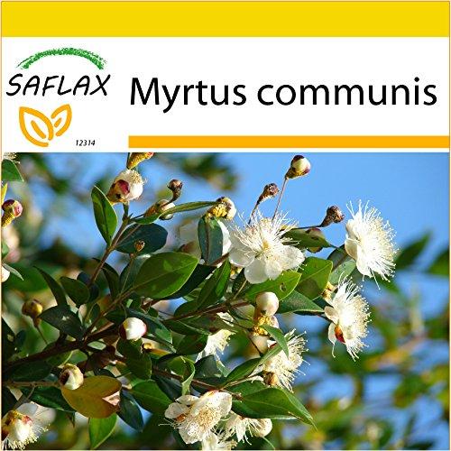 SAFLAX - Anzucht Set - Echte Myrte - Brautmyrte - 30 Samen - Mit Mini-Gewächshaus, Anzuchtsubstrat und 2 Töpfen - Myrtus communis