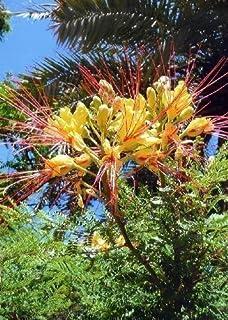 TROPICA - Winterharter Pfauenstrauch Caesalpinia gillesii X spinosa - 10 Samen